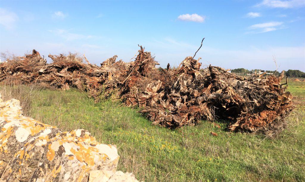 Olivenbäume in Not: Mit der Kettensäge gegen Xylella 2
